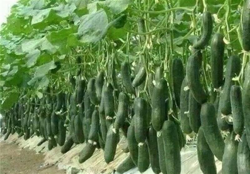بهرهبرداری از شهرک گلخانهای کوهدشت؛ 9 گلخانه در لرستان ایجاد میشود