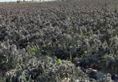 بوشهر محصولات کشاورزی شبانکاره دشتستان به سبب سرمازدگی از بین رفت