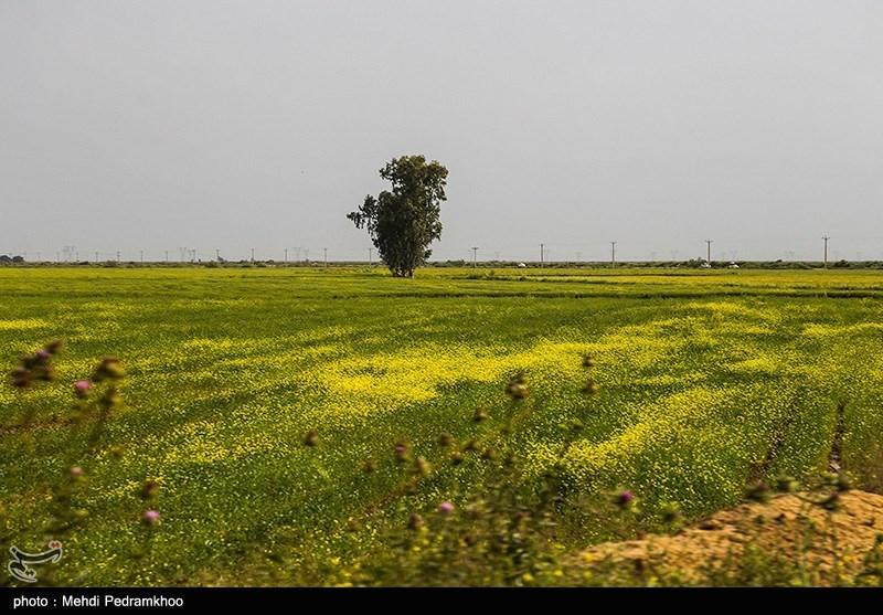 مزارع کلزا در خوزستان
