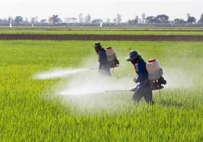 """خطر گسترش آفت """"ملخ مراکشی"""" بیخ گوش زنجان/ جهاد کشاورزی چه تمهیداتی اندیشیده است؟"""