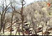 آتش بیتدبیری مسئولان به جان جنگلهای بلوط افتاد / درختان چندصدساله بلوط راست راست جان میدهند
