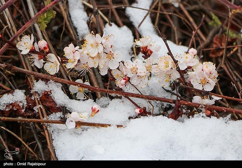 هشدار مدیرکل بحران خراسان شمالی به باغداران؛ مراقب «سرمای بهاری» باشید