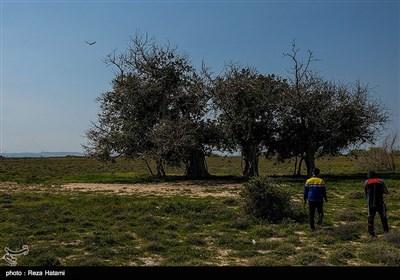 درختان لیل در جزیره خارگو