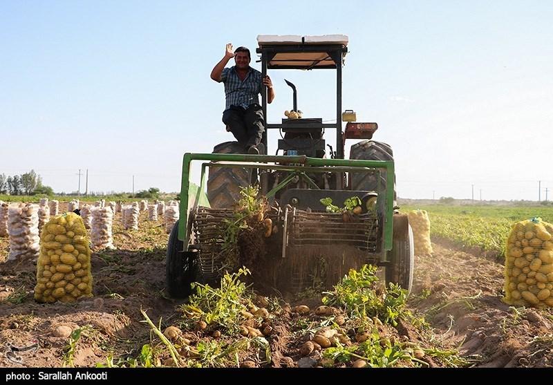 کرمان| برداشت سیبزمینی در منطقه سیلزده رودبارجنوب به روایت تصویر
