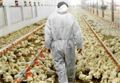 چرا وضعیت تولید مرغ به روز سیاه نشست؟