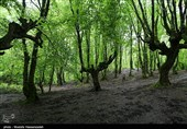 طغیان آفت «پروانه دُم قهوهای» در جنگلهای ارسباران / عملیات مبارزه آغاز شد