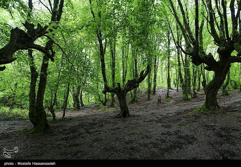 گزارش| وضعیت درختان جنگلی در استان زنجان چه خواهد شد؟