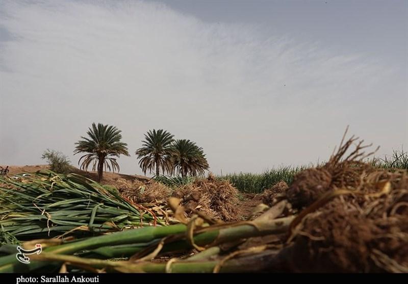 کشاورزی , استان کرمان , تولید ملی ,