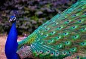 """صید """"طاووس"""" در پشتبام منزل مسکونی در مجیدیه! + تصاویر"""
