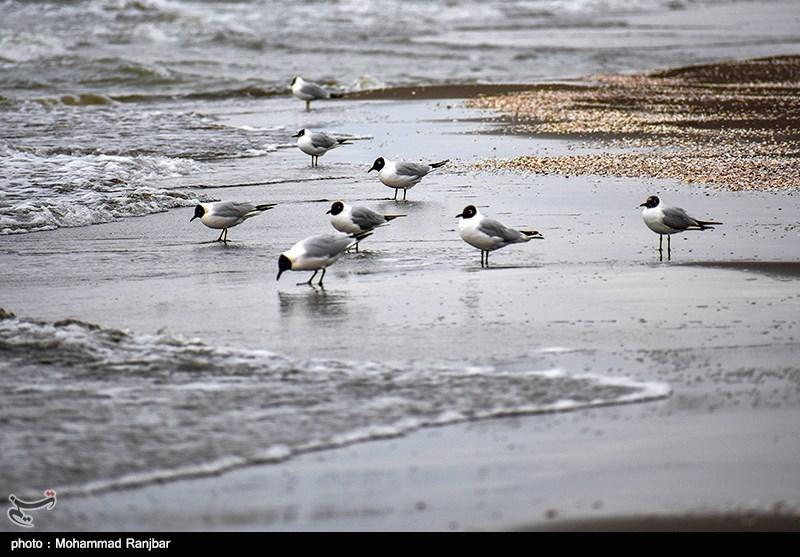1399012513125163120128194 - آغاز مهاجرت آب کاکاییها در رودخانههای چالوس/ مردم در انتظار زمستان زودرس+ تصاویر