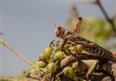 FAO Says Helping Iran Battle Desert Locust Infestation