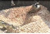 فیلم معدوم کردن جوجه های زنده با بیل مکانیکی در کشور