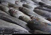 7.5 تُن ماهی قاچاق در آبهای کیش کشف شد