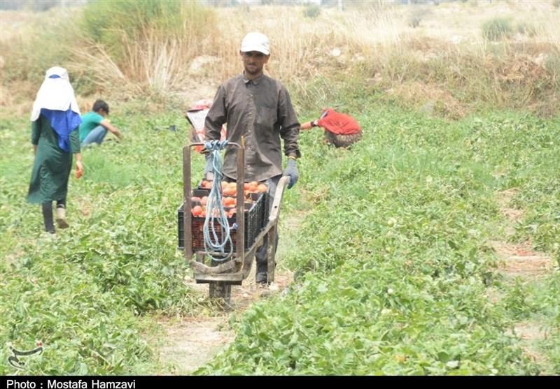 گزارش  حال ناخوش قطب گوجه ایران /  دلالان دسترنج گوجهکاران را با پایینترین قیمت میخرند + فیلم