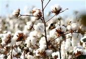 گزارش ویدئویی| آغاز برداشت طلای سفید در اراضی کشاورزی پارسآباد/ پیشبینی تولید 50 هزار تن پنبه در اردبیل