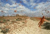 جولان ملخهای صحرایی در مزارع خراسان جنوبی ادامه دارد؛ پاییز فصل بازگشت ملخها به استان