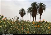کرمان| جادوی رنگها در مزارع گل خشت شهداد به روایت تصویر