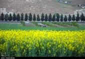 نخستین کارخانه روغنکشی کُلزا در استان ایلام تأسیس میشود