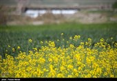 برنامه 10 ساله دولت برای خودکفایی 70درصدی در تولید دانههای روغنی/باید جلوی واردات گرفته شود