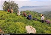 ضرورت برنامهریزی برای افزایش تولید چای ایرانی؛ ترویج عملیات بهزراعی باغات گیلان و مازندران در دستور کار قرار گرفت
