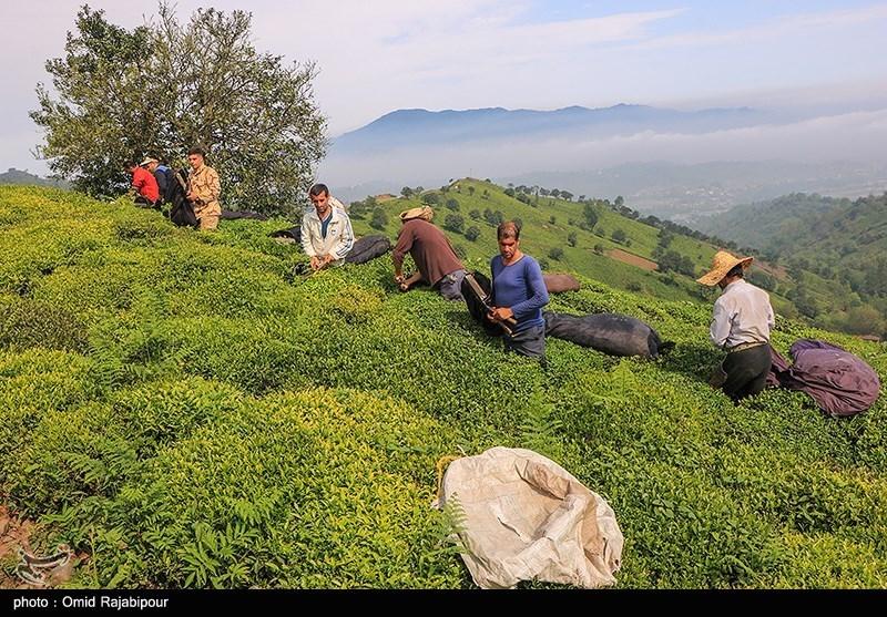 رئیس سازمان چای کشور: 80 درصد مطالبات چایکاران گیلان و مازندران پرداخت شد