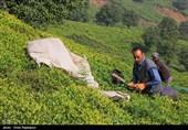 پیشبینی برداشت 15000 تن برگ سبز چای تا پایان امسال/ 356 میلیارد تومان از مطالبات چایکاران پرداخت شد