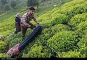 گیلان  رئیس سازمان چای: شرایط خرید برگ سبز چای در سال جهش تولید مناسب است