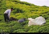اجرای طرح حمایت از 200 باغ چای در گیلان؛ مهندسان بسیجی آماده کمک به احیای باغات چای استان هستند
