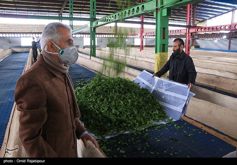 چای چین اول چای بهاره چیست چای ایرانی برداشت چای اسم بهترین چای ایرانی اخبار چای اخبار املش