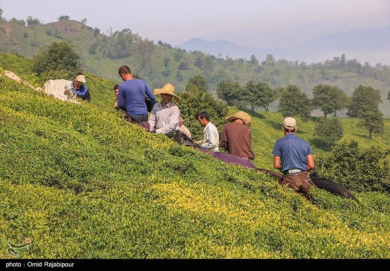90 درصد محصول چای ایرانی در گیلان کشت میشود