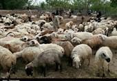 چرا مرغ و گوشت گران شد؟ قیمت گوسفند زنده در مرز عراق 90 هزار تومان/رئیس شورای دام: گوسفند در داخل متقاضی ندارد