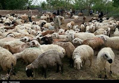 وجود ۴۰۵ هزار راس گوساله و گوسفند پرواری در کشور/ قیمت منطقی هر کیلو دام سبک ۴۰ هزار تومان است