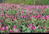 نخستین جشنواره ملی گل گاو زبان در شرق استان مازندران برگزار شد
