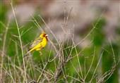 """گونه """"زردپره سر سرخ"""" در منطقه حفاظت شده آران و بیدگل به ثبت رسید"""