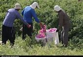 حال و روز صنعت گل و گلاب کاشان خوب نیست/لزوم حمایت مسئولان جهت رونقبخشی به صنعت گلاب