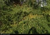 سازمان حفظ نباتات درباره احتمال حمله ملخ صحرایی به کشور هشدار داد