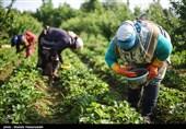 از گوشه و کنار آذربایجانغربی| سالانه 200 تن توت فرنگی گلخانهای در استان تولید میشود