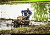 گیلان| دستورالعملهای مقابله با کرونا در نشاء کاری برنج رعایت میشود