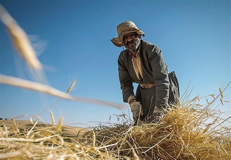 از گوشه و کنار آذربایجانغربی|پیش بینی تولید 69 هزار تن گندم در ارومیه/ احشام قاچاق در مرزهای آذربایجان غربی کشف شد