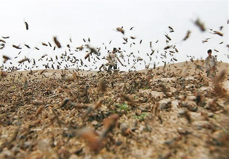 FAO: COVID-19, Desert Locust to Fuel Hunger in Asia, Pacific