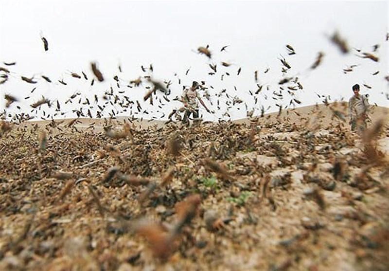 حمله گلههای بزرگ ملخ به محصولات کشاورزی در شرق آفریقا و غرب آسیا