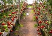 طرحهای جهش تولید کشاورزی در استان بوشهر 140میلیارد تومان اعتبار دریافت کردند
