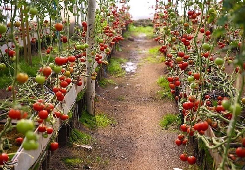 گلخانهداران خراسان جنوبی در انتظار بسته حمایتی / عدم ابلاغ یارانه و توقف طرحهای گلخانهای