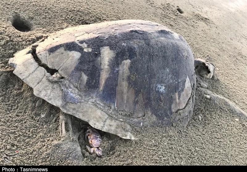 گزارش  لاکپشتهای دریایی در جاسک تلف شدند / باز هم پای صید ترال در میان است+ تصاویر