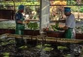 مبارزه همزمان صنعت 25 میلیارد دلاری موز دنیا با کرونا و بیماری قارچی