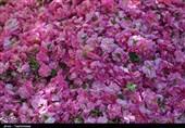 برداشت گلمحمدی از مزارع خراسانشمالی بهروایت تصاویر