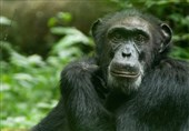 Chimps Smack Their Lips in Rhythms Similar to Human Language
