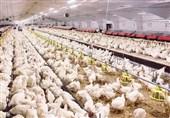 «مرغ ایرانی»|بستۀ تشویقی وزارت جهادکشاورزی برای تولیدکنندگان مرغ آرین + تصویر