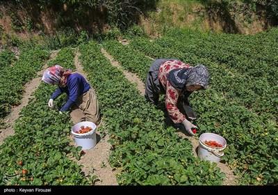 برداشت طلای سرخ از مزارع کردستان