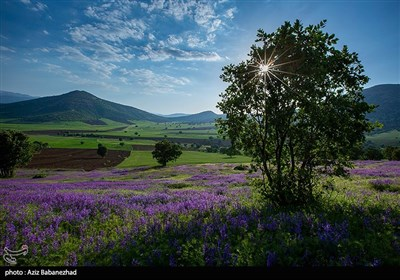 دشت گلهای بنفش در خرم آباد
